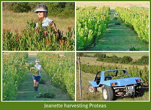 Jeanette harvesting the proteas