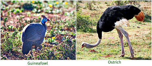 well-known birds in gardens and Karoo farms - here in the wild