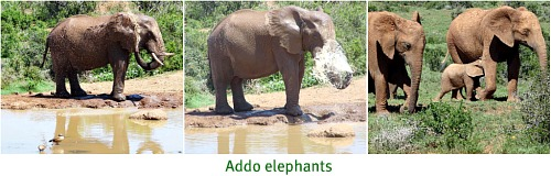 Addo elephants enjoying a waterhol