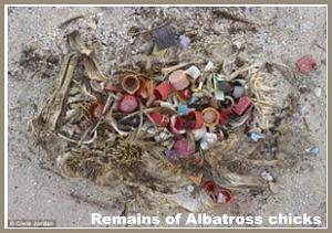 albatross chick remains