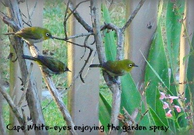 Cape White-eyes