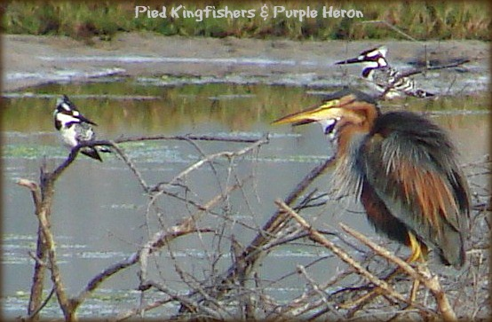 Pied Kingfishers & Purple Heron