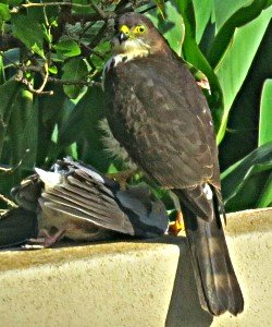 Little Sparrow-hawk with captured dove