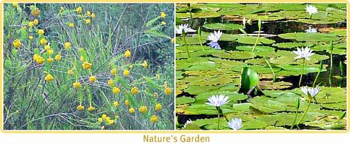 wild flowers & water-lilies