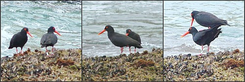Endemic African Black Oystercatchers on the rocks at Gerickers Point
