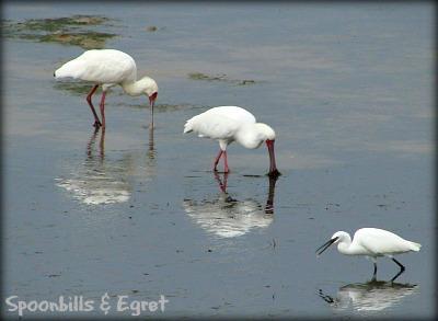 Spoonbills & Little Egret