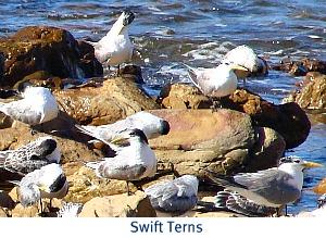 Swift Terns