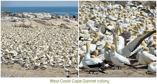 Gannet colony on West Coast
