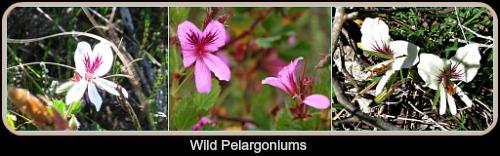 Wild Pelargoniums