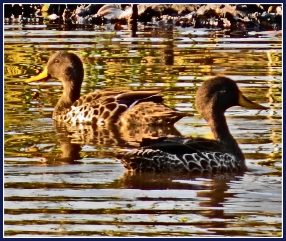 Yellow-billed Duck pair