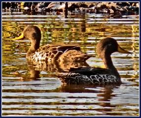 Yellow-billed Duck pair