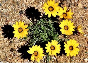 Yellow Gazanias